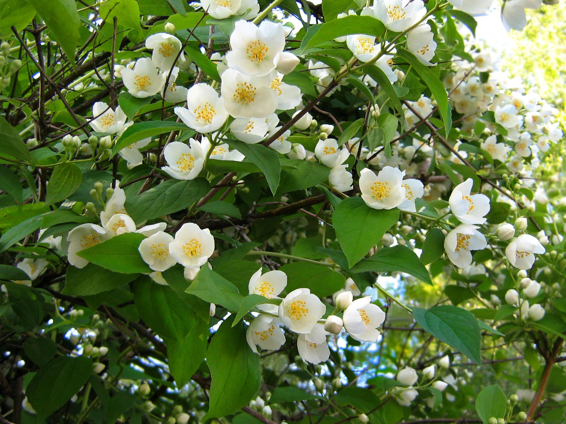 Прикольные цветы жасмин только у нас